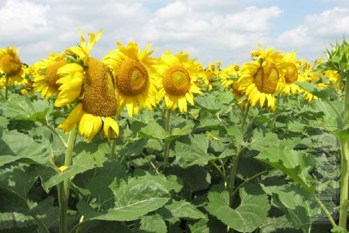 sunflower seeds - Auris , the hybrid is resistant to Granstar, and withstands 50 g/ha