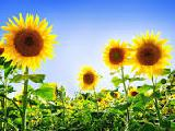 sunflower Rambo