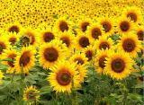 "Sunflower ""Matador"" (hybrid)"