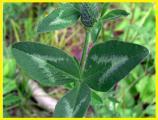 Seeds clover