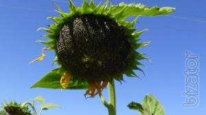 Sunflower seeds Osman, Bogdan tolerant everlasting