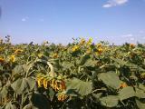 Canadian hybrid wt.sunflower Euro-lang
