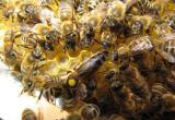 The Queen Bee Karpatka