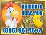 Broiler chickens COBB 500. Podbroshennye