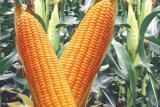 Corn Gran 240