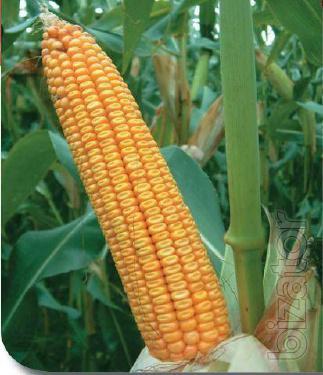 Corn seeds Gran 6