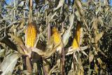 Corn seeds NR 63