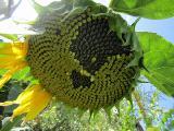Sunflower seeds Watch