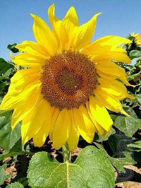 Sunflower seeds Arcangel