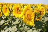 Sunflower seeds Oliver