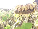 Sunflower seeds Odyssey