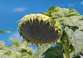 Seeds of sunflower Hybrids under Granstar