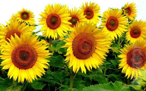 Sunflower seeds commander
