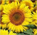 Sunflower seeds Liman ER (7рас)