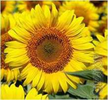 Sunflower seeds Liman ER (7рас)