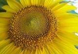 Sunflower seeds Derkul