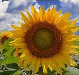 Sunflower seeds Donbass OR (7рас)