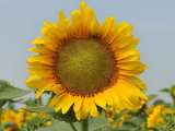 Sunflower seeds of the national Assembly of the Taurus, tolerant Euro-Litru