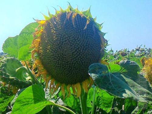 Sunflower seeds NS Imison (NS) tolerant to Euro Litro