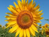 Sunflower seeds Antey tolerance to Granstar