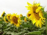 Sunflower seeds NS X 1752 under Granstar