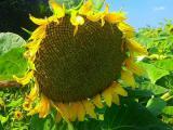 Sunflower seeds NS Sumo 2017 under the Granstar
