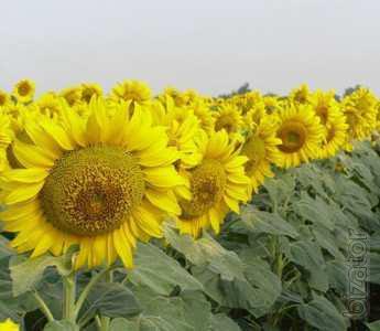 Sunflower seeds Master (grade)