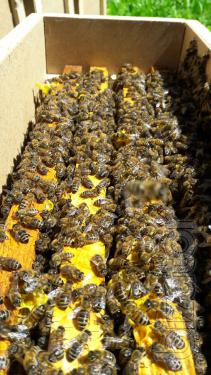 Scolopacea ,Bees for 2018 Delivery!