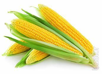 Corn seeds Onyx