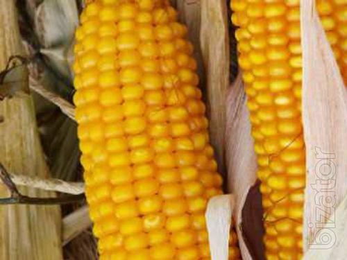 Corn seeds Tesla