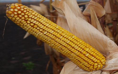 Corn seeds Grand 1