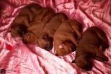 Thai Ridgeback puppies from parents World Champions of Europe!!
