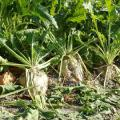 seeds of a sugar beet hybrid Reputable. Resistant to roundup (glyphosate application rate to 4L/ha)
