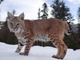 Sell kittens of the Canadian and European lynxes.[8..999/170..90//70]