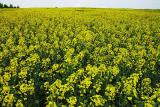 Rapeseed Thunder (THEY+RS) / delivery to Ukraine
