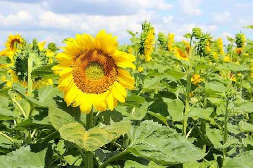 We offer you to buy the seeds of sunflower hybrid – Pegasus (Pegas NS H 6341)
