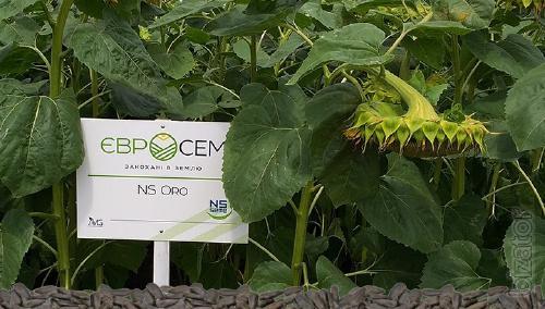 Sunflower seeds Evrosem hybrid NS ORO (ORO NS)