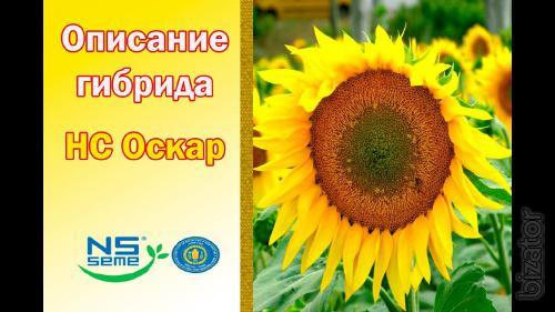 Seeds of sunflower hybrid NS Oscar