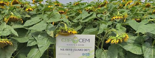 Offer to buy sunflower seeds NS Sumo 007 (HC N 6059)