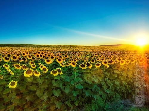Classic sunflower hybrid Castelo OR7 (Mirasol seed)