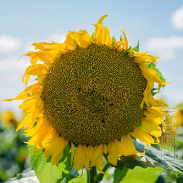 Classic hybrid seeds of sunflower Sirocco OR7 OR7 (Mirasol seed)