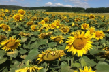 Sunflower seeds ER6 mercury (Hermes)