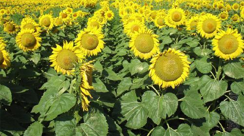 Sunflower seeds Odyssey (Hermes)