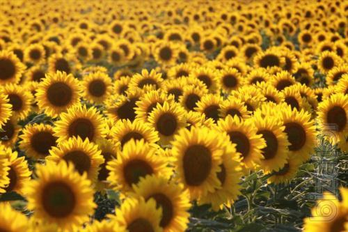 Sunflower seeds ES alpha under Granstar