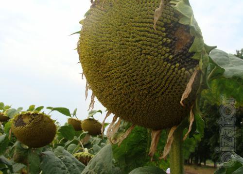 Classic sunflower hybrid Romeo ( NS)