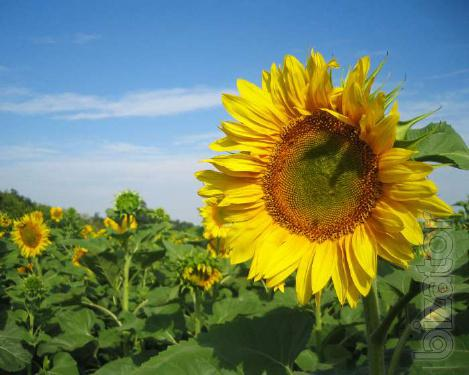 The sunflower hybrid EU Bereket, everlasting