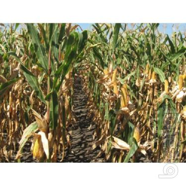 Corn seeds DB Hawtin