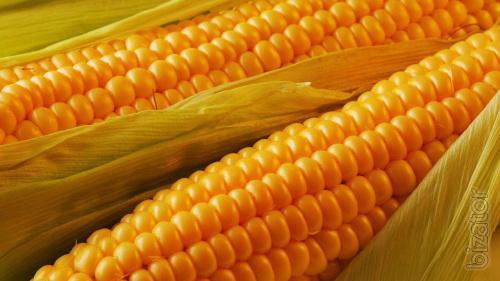 Corn seeds Solonyansky 298св