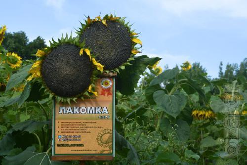 Sunflower seeds variety of gourmet