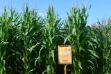 Corn seeds between orzhytsya 237 MV. FAO – 240